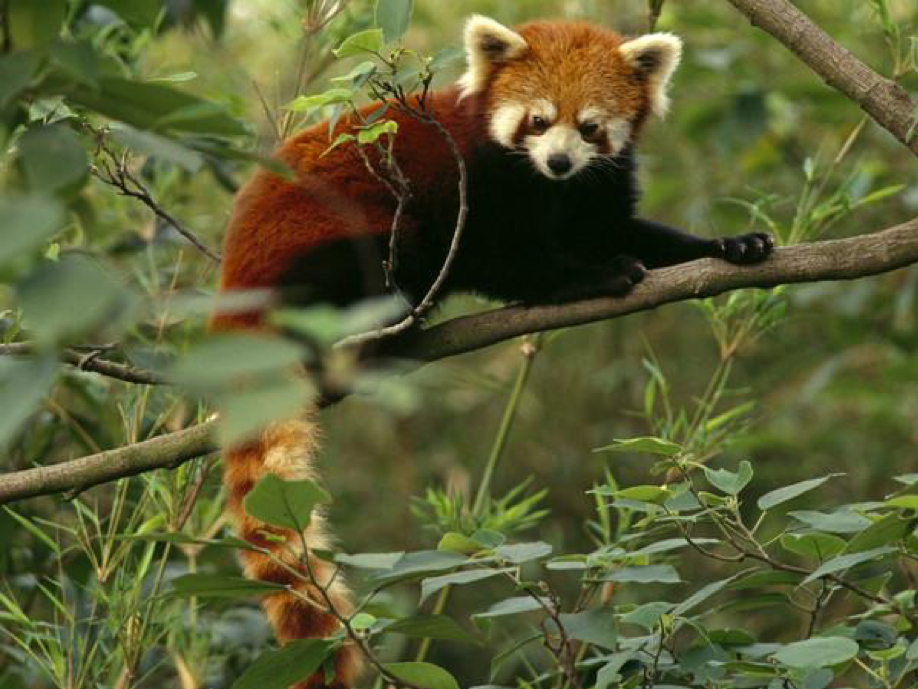 oso panda rojo